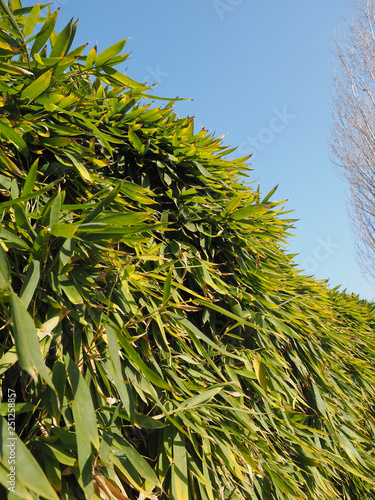 bamboo tree leaves