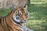 close up of a tiger