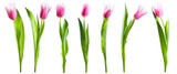 Fototapeta Tulipany - Pink tulip flowers isolated on white © firewings