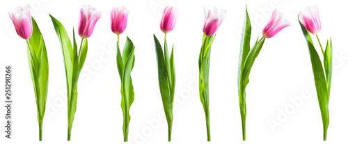 Pink tulip flowers isolated on white - 251298266