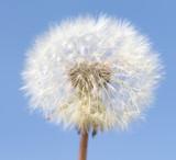 White dandelion nature