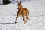 horse haflinger runs a beautiful trot through the snow
