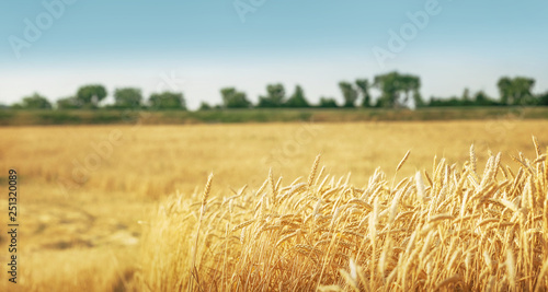 Wheat field background © Igor Strukov