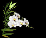 white orchid and green bamboo isolated on black