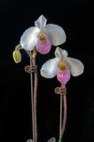 Orchid: Paphiopedilum delenatii