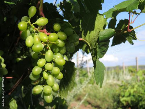Leinwandbild Motiv Vineyard in summer, ripening bunches of white grapes. Grapevine and blue sky, winemaking concept