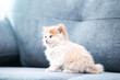 Cute kitten sitting on grey sofa