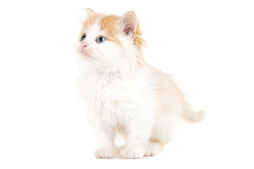 Cute kitten isolated on white background © 5second