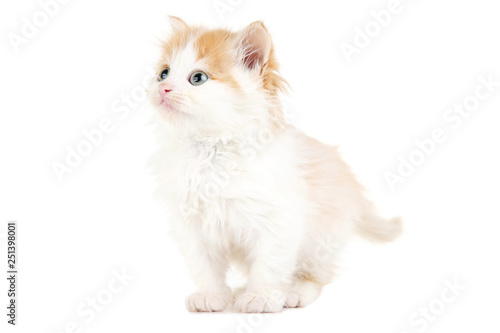 Cute kitten isolated on white background