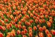 Tulpen Feld Garten Blumen Frühling