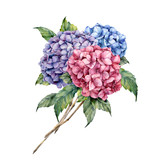 Watercolor hydrangea bouquet. Hand painted pink and violet flowers with leaves isolated on white background for design, print. - 251432642