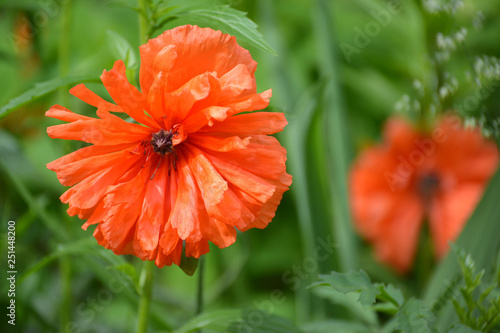 Blossoming of red poppy (Papaver L.) - 251448200