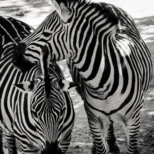 Zebras 1 - 251448244