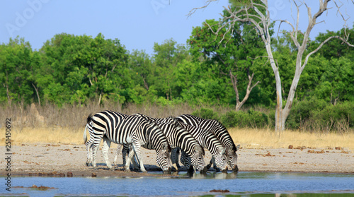 Scenic view of a herd of zebras drinking from a waterhole with heads down in a straight line with a natural clear blue sky and bush background - Hwange National Park - 251450692