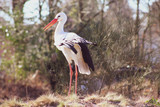 Full length portrait of white stork (Ciconia ciconia) in a park, seen in Lower Saxony, Germany
