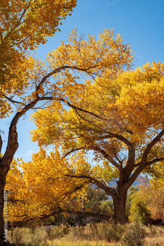 obraz lub plakat golden yellow autumn leaves on trees in California USA