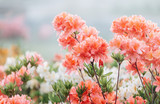 Colorful coral azalea flowers in garden. Blooming bushes of bright azalea at spring sunlight. Nature, spring flowers background