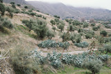 Olive trees growing in mountains in Spain