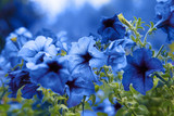 Close up of blooming blue flowers in garden. Beautiful desert rose or adenium obesum. - Image