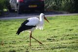 Stork on the grass in park Hitland in Nieuwerkerk aan den IJssel in the Netherlands