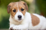 Fototapeta Zwierzęta - Beautiful cute jack russell pet dog puppy looking to the camera © Reddogs