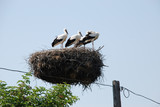Family of storks in the nest on the electric pole