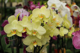 A sprig of pale yellow orchids.