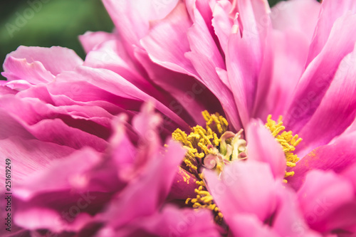 Single pink peony flower petal in full blossom close up details isolated background in elegant muted colours - 251619249