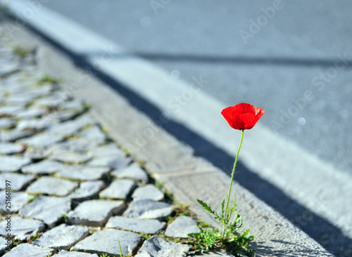 Beautiful poppy growing in asphalt - 251661897