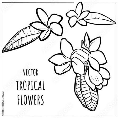 Vector contour plumeria tropical flower