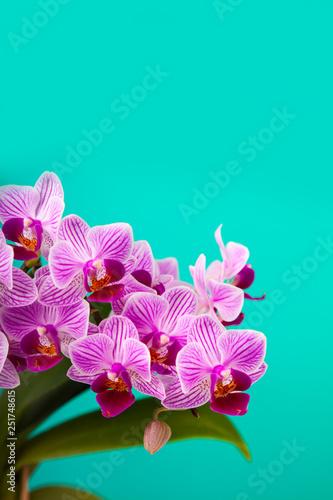 Beautiful pink orchid closeup. - 251748615
