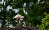 white stork, Ciconia ciconia at a nest