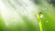 Leinwanddruck Bild - Beautiful water drop sparkle in sun on grass in sunlight, macro. Spring fresh juicy green grass in droplets of morning dew outdoor, copy space. Amazing dreamy romantic image of purity of nature.