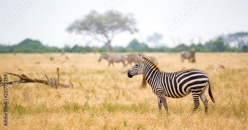 A zebra standing or walking throught the grassland - 251775259