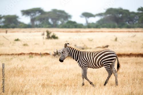 A zebra standing or walking throught the grassland - 251776051