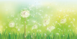 Fototapeta Dmuchawce - Vector spring background with white dandelions. © rvika