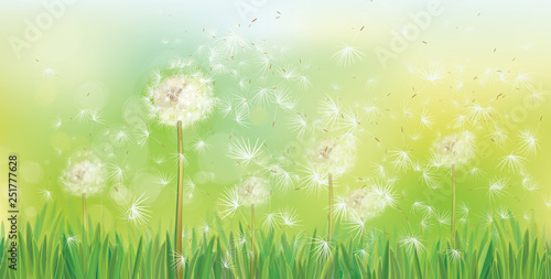 Vector spring background with white dandelions. - 251777628