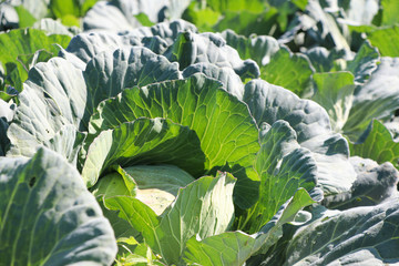 Cabbage green color growth and freshness in summer at Thailand farm