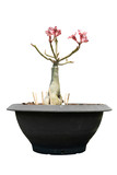Azalea Tree Pink color no leaves on the black pot. Isolate white background with clipping path.