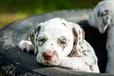Happy Dalmatian puppy in enjoying summer. Pets outside. Cutre small dogs relaxing under sun lights.