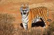 Alert Bengal tiger (Panthera tigris bengalensis) in early morning light.