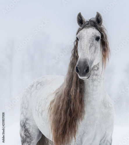 Grey Pure Spanish Horse with long mane.