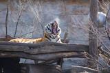 Lying yawning tiger