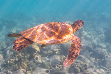 Sea turtle swimming over reef