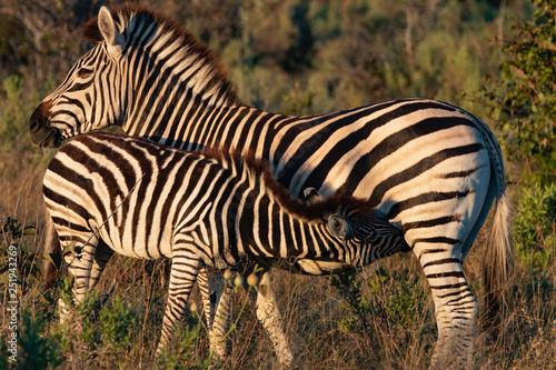 Baby Zebra Suckling - 251943269