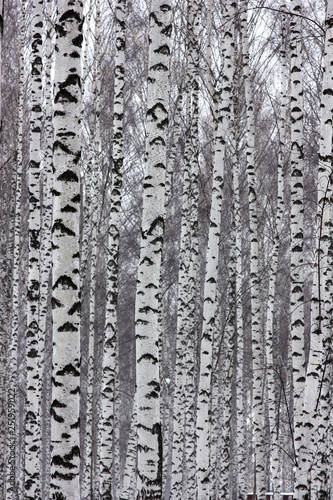 slender birches in the winter park - 251959022