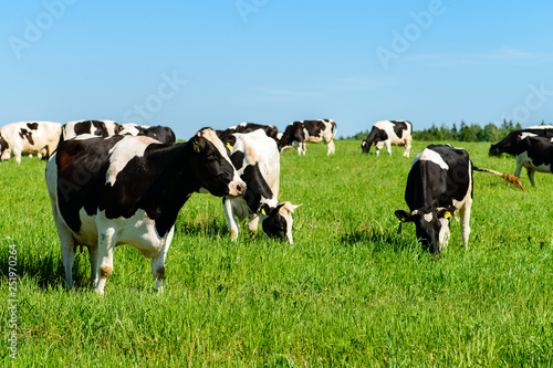 mata magnetyczna cows graze on a green field in sunny weather, layout with space for text