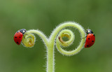Fototapeta Dmuchawce - ladybug on leaf © mehmetkrc