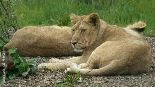 Young lion cub was sleeping and wakes up, lifting his head
