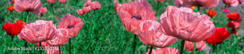 Fresh beautiful pink poppies on green field. - 252030246
